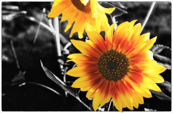 Backlit Yellow Sunflower