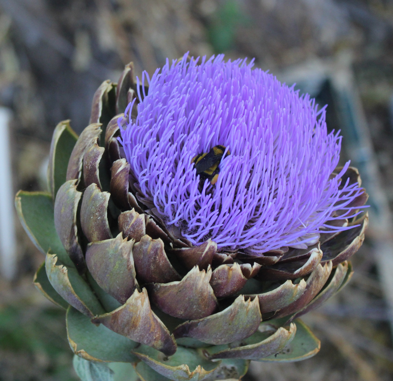 Bee and Artichoke.jpg